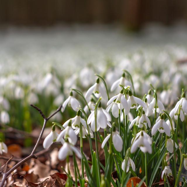 """Snowdrop carpet"" stock image"