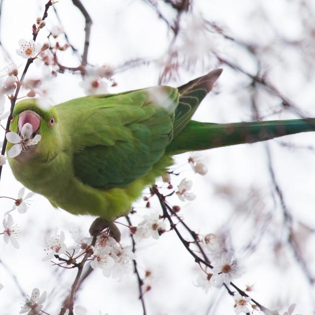 """Ring-necked parakeet eating blossom"" stock image"