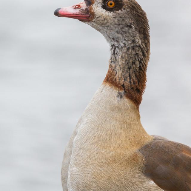 """Egyptian Goose"" stock image"