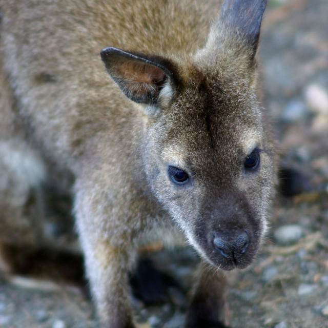 """""""Baby wallaby"""" stock image"""