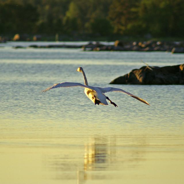 """""""Tumpet Swan landing"""" stock image"""