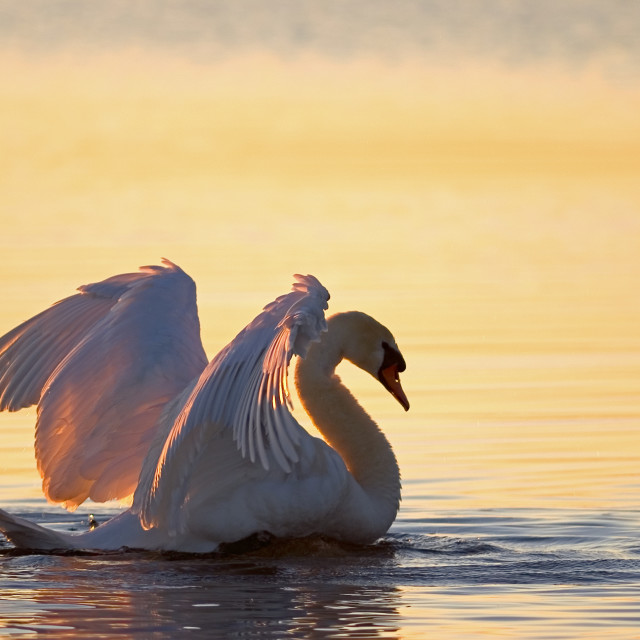 """The Winner Swan"" stock image"
