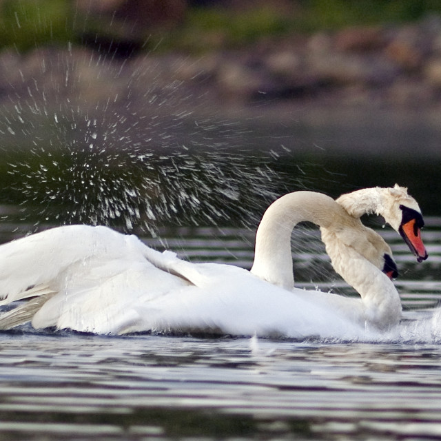"""""""Male swans fighting"""" stock image"""