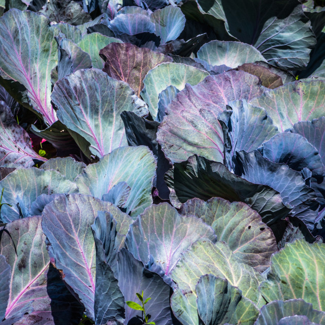 """Stacked cabbages"" stock image"