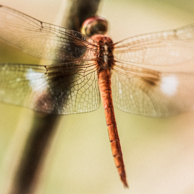 """dragonfly wings"" stock image"
