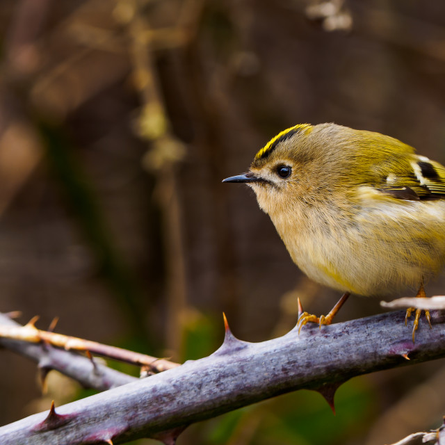 """goldcrest"" stock image"