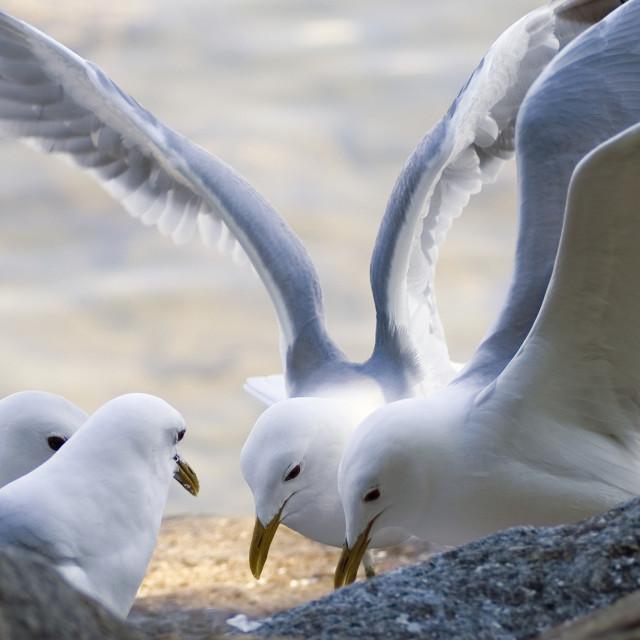 """Seagulls negotiating of food"" stock image"
