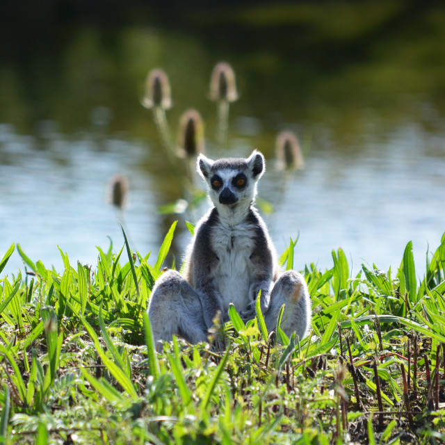 """Lemur Bathing in Afternoon Sun"" stock image"