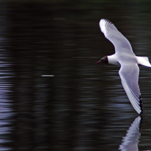 """""""Line Drawn on Water by seagull"""" stock image"""
