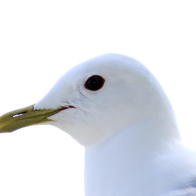 """Seagull - Profile pic"" stock image"