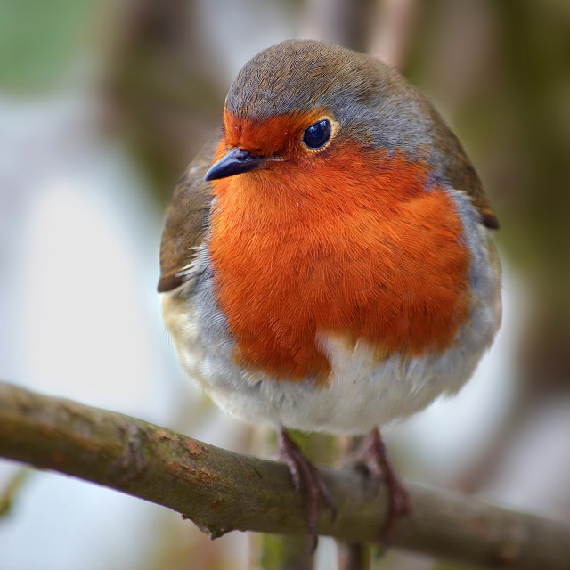 """""""Robin perched in Tree"""" stock image"""