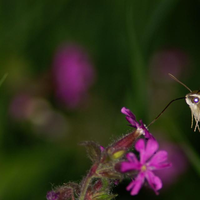 """Bedstraw hawk-moth"" stock image"