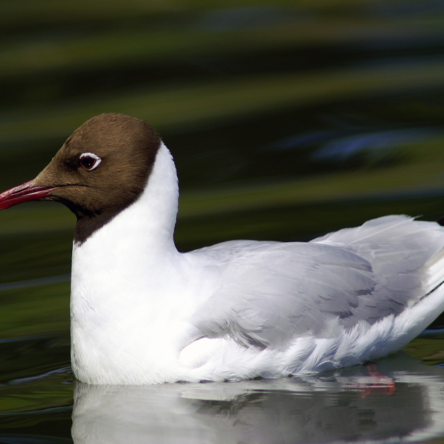 """Common black-headed gull"" stock image"