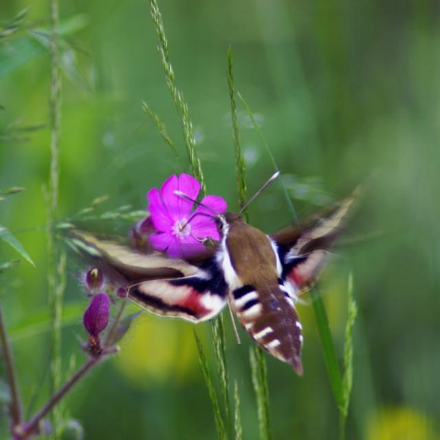 """Bedstraw hawk-moth in summer night"" stock image"