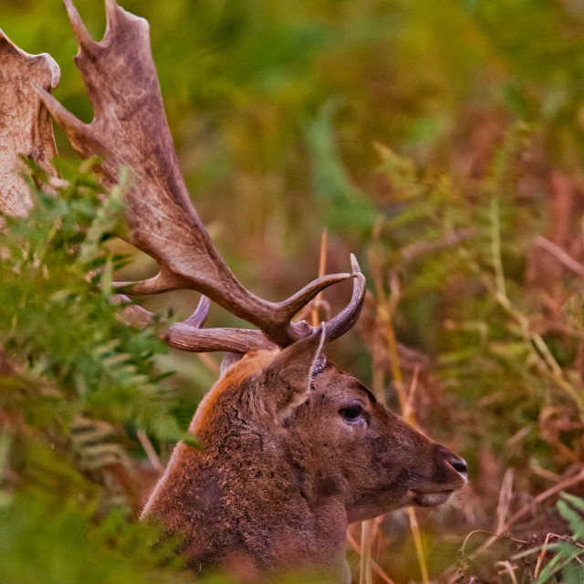 """A young stag"" stock image"