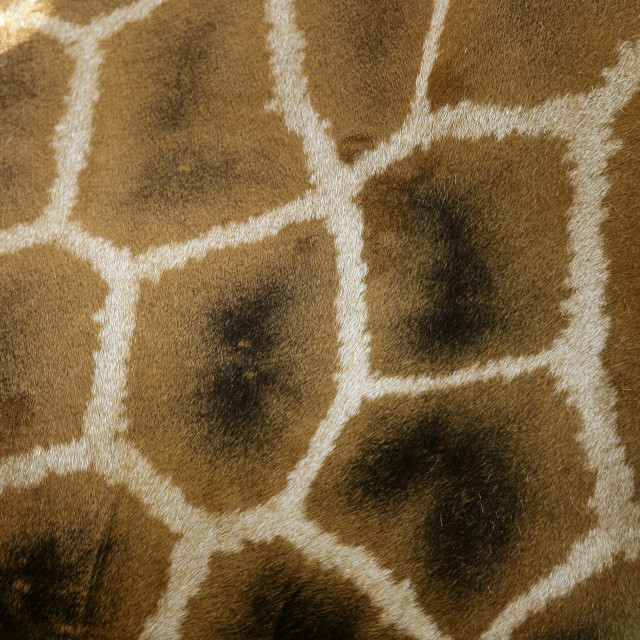 """Girafe from Africa. Skin texture"" stock image"