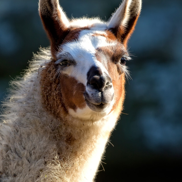 """Lama in the wild"" stock image"