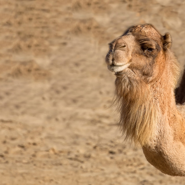 """Camel in the wild"" stock image"