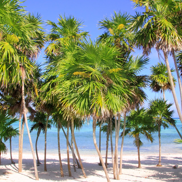 """""""Chit palm tree in caribbean tropical beach"""" stock image"""