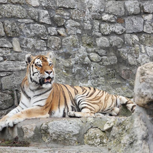 """Siberian Tiger in his Territory"" stock image"