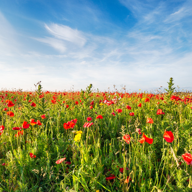"""""""A filed of Poppies and wild flowers on cliffs above Polly Joke beach near..."""" stock image"""