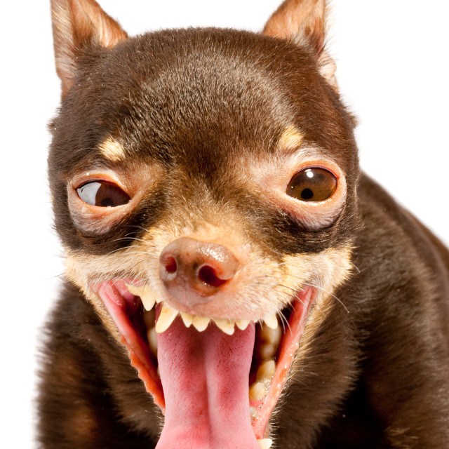 """Russian toy-terrier.Ridiculous dog"" stock image"