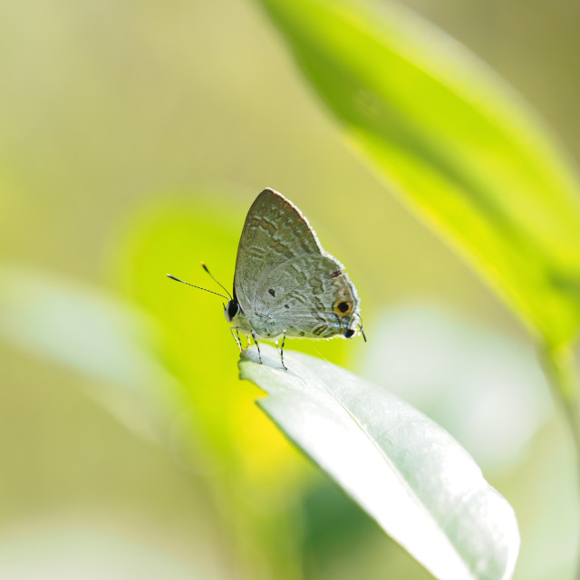 """Sinthusa chandrana grotei butterfly"" stock image"