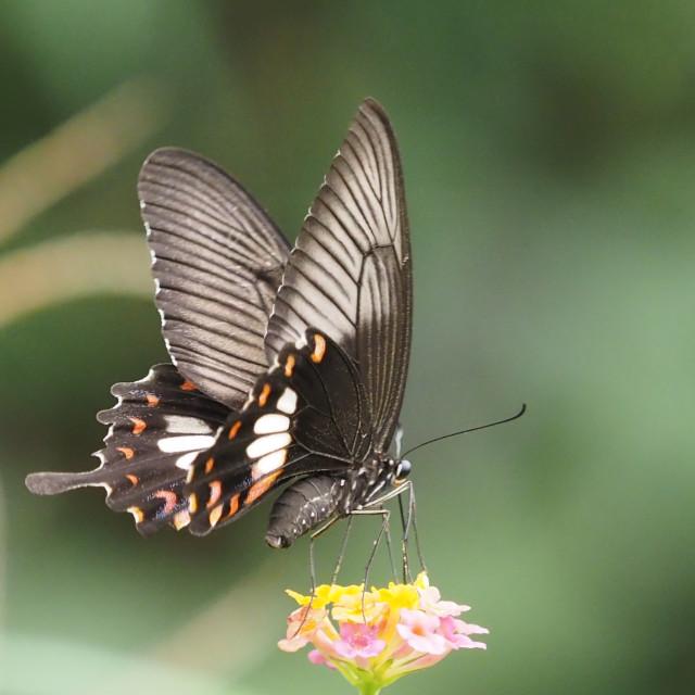 """Papilio memnon"" stock image"