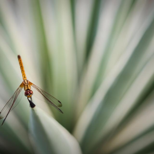 """Dragonfly burst"" stock image"