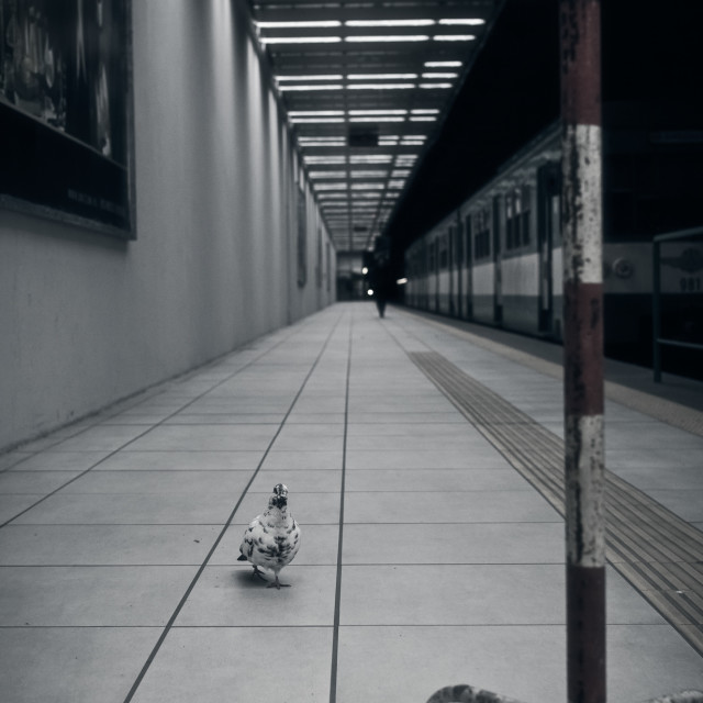 """Pigeon Passenger"" stock image"