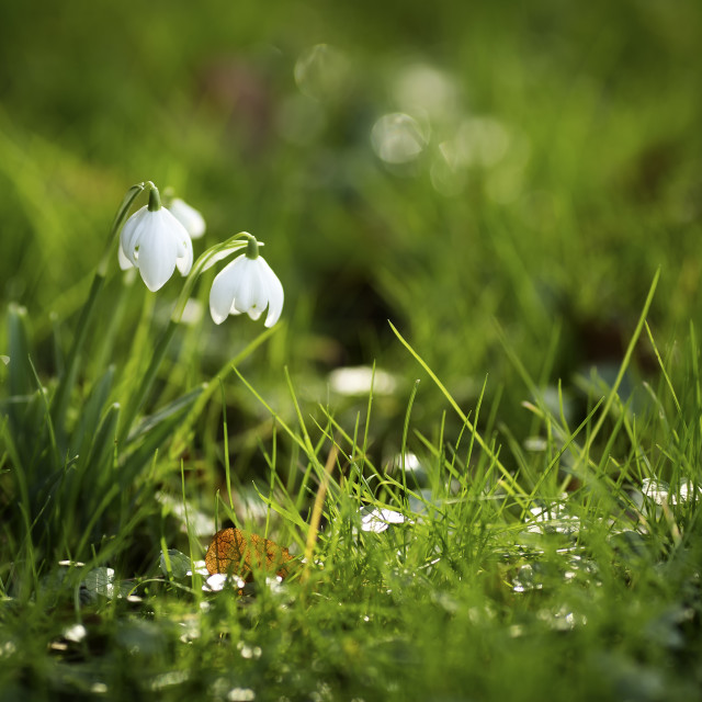 """Sunlit Snowdrops"" stock image"