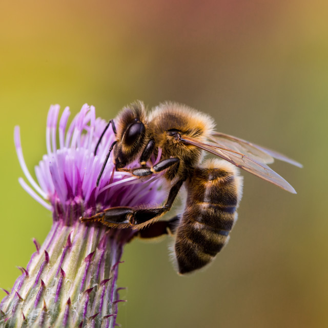 """Bee on Thistle Flower"" stock image"