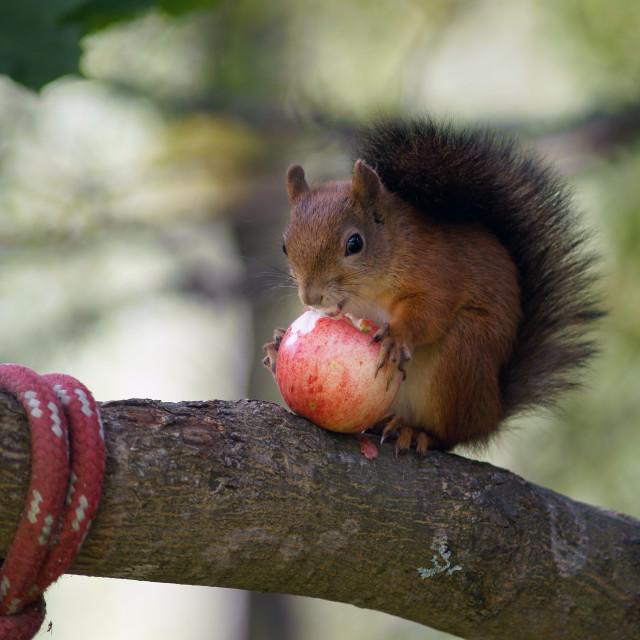 """""""Squirrel - apple thief"""" stock image"""