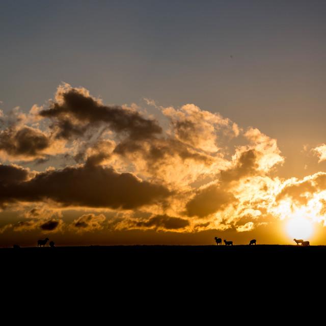 """SHEEP AT SUNSET"" stock image"