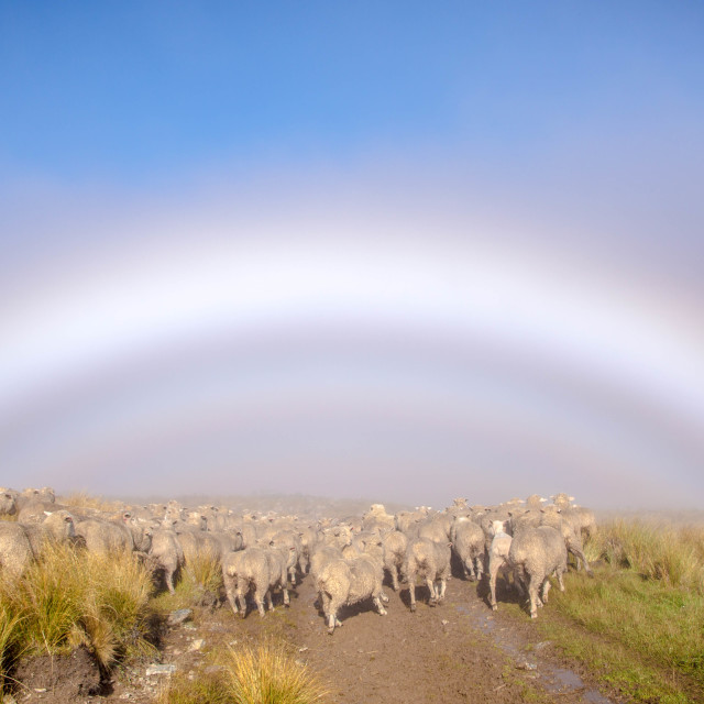 """Sheep at the bottom of the rainbow"" stock image"