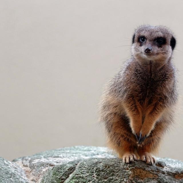 """Pensive Meerkat"" stock image"