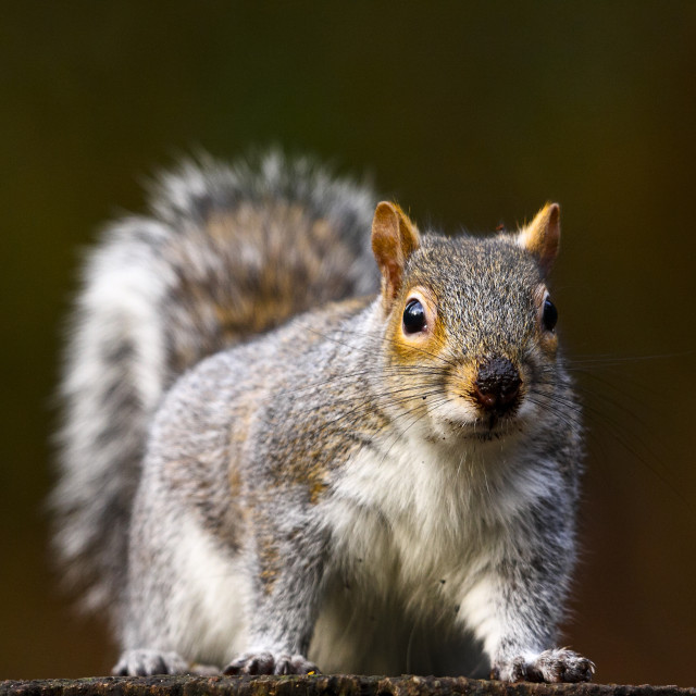 """Woodland Squirrel"" stock image"