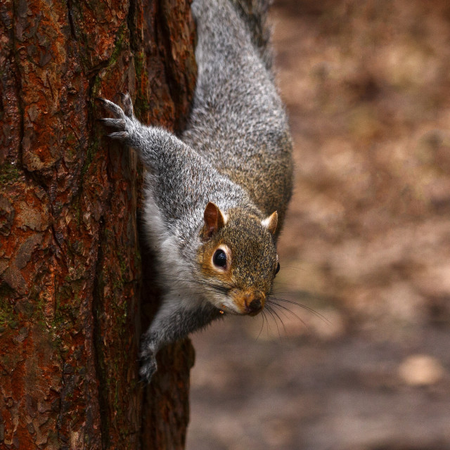 """Squirrel clinging to a tree"" stock image"