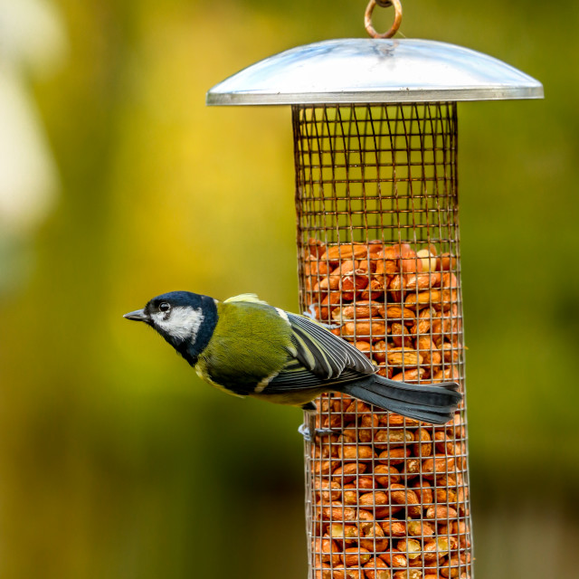 """""""Blue tit on a feeder"""" stock image"""