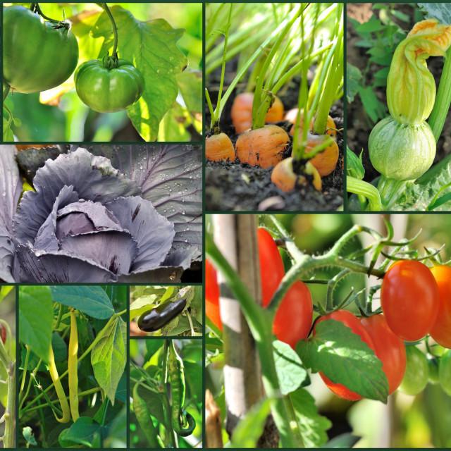 """""""vegetables in garden"""" stock image"""