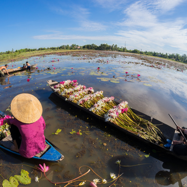"""lotus harvesting day, countryside Vietnam"" stock image"