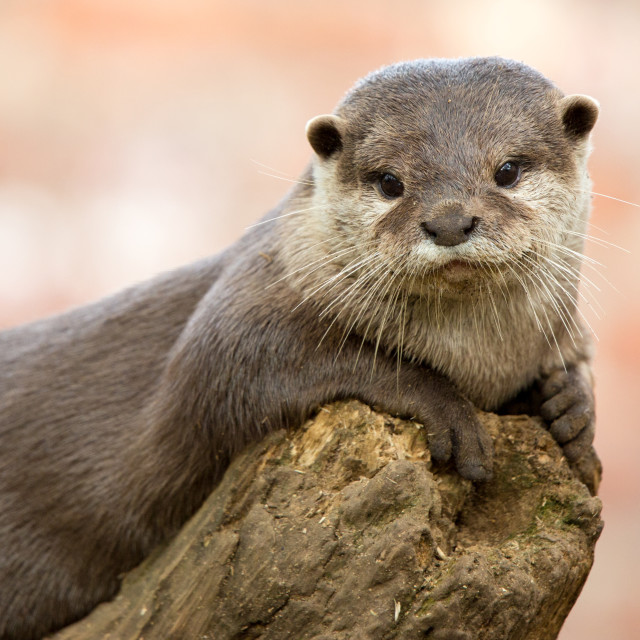 """Oriental Short Clawed Otter"" stock image"