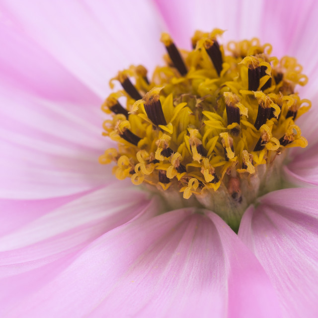 """Pink Cosmos Flower"" stock image"