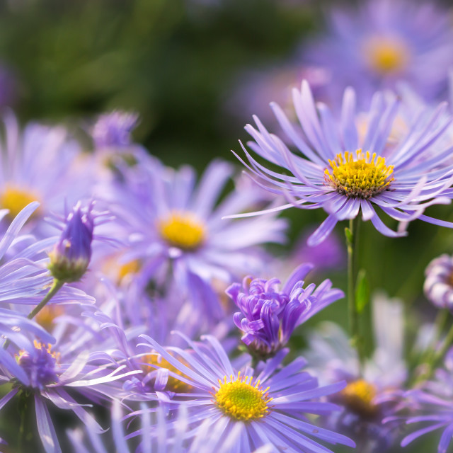 """Asters"" stock image"