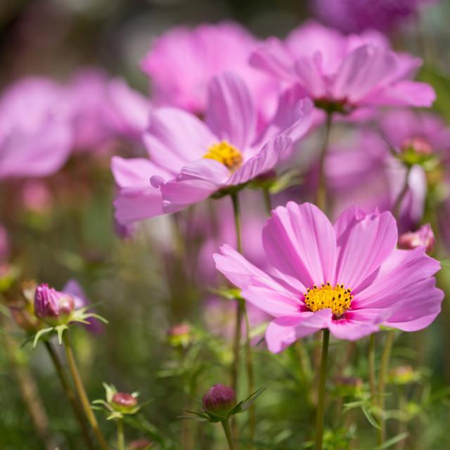 """Cosmos Flowers"" stock image"