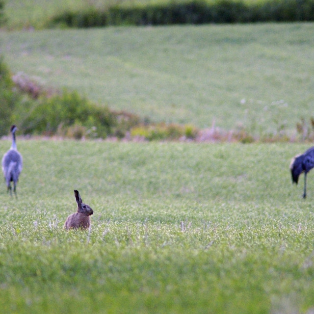 """""""Brown hare and cranes"""" stock image"""