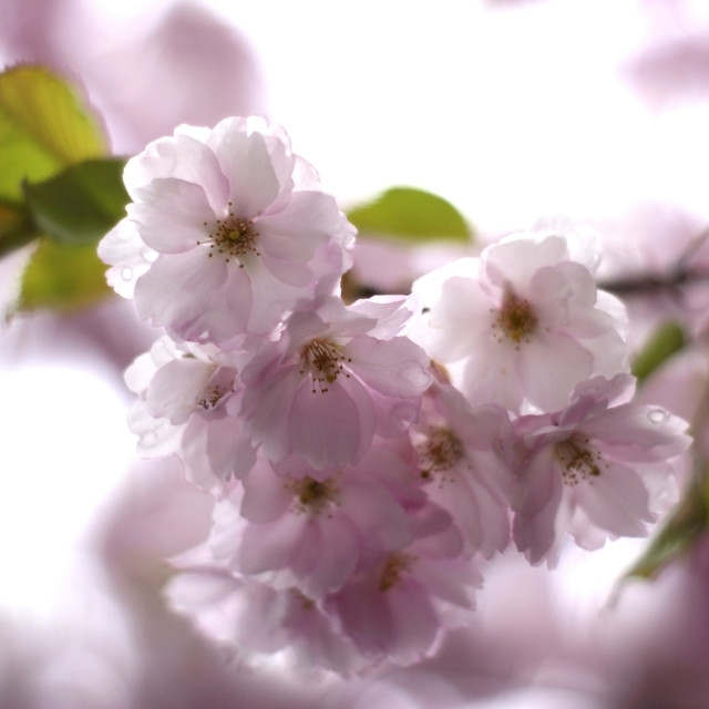 """Cherry Flowers"" stock image"