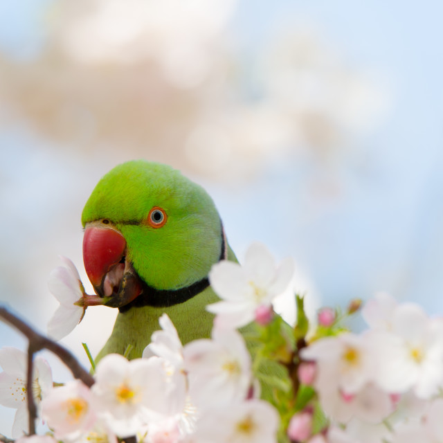 """Parakeet and Blossom"" stock image"