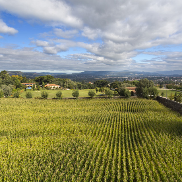 """""""Maize Field in Rural Country"""" stock image"""