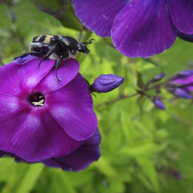 """""""Bee Beetle"""" stock image"""